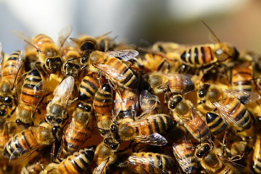 honey-bees-326334__340